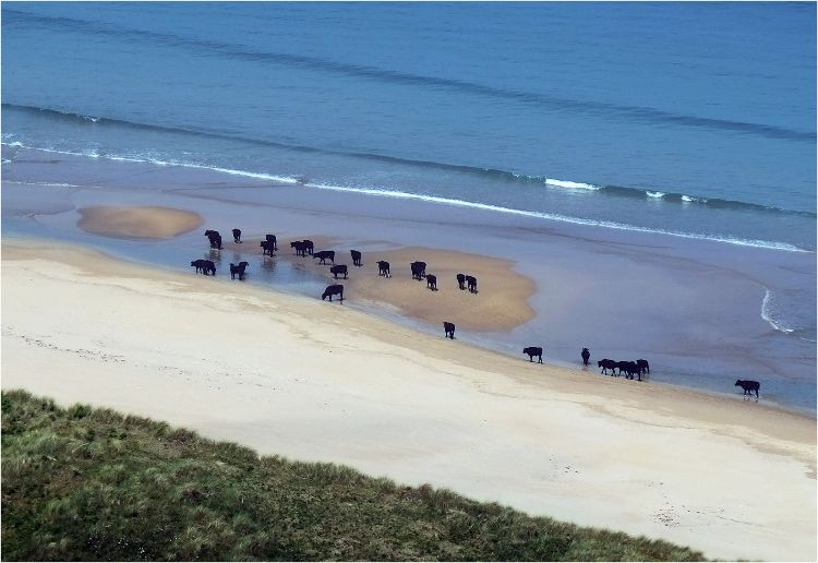 Cattle on the beach at White Park Bay Co. Antrim
