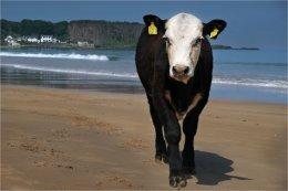 Heifer on Holiday