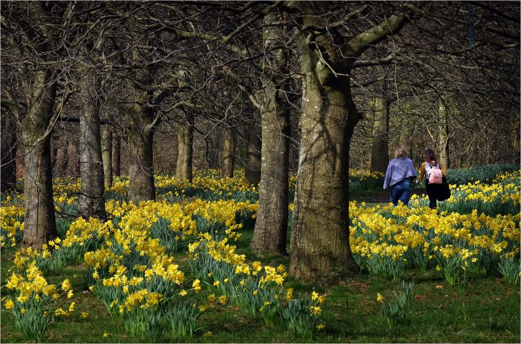 Marie Curie Daffodil fields in Sefton Park Liverpool