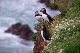 Puffins Saltee Island Co Wexford