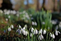 Snowdrops at The Argory