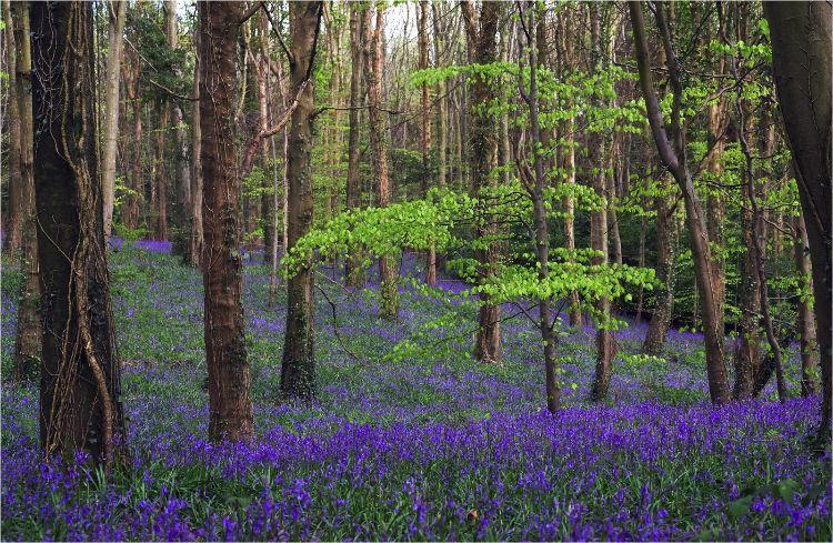 Woodland spring carpet