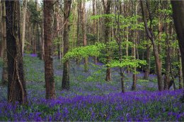 Woodland spring carpet