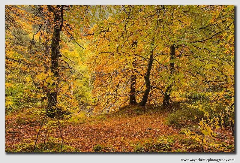 Autumn-Gold- 3 - W5D39326