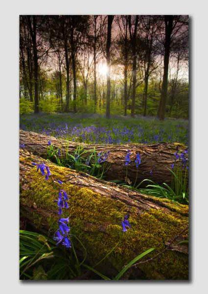 Bluebell Wood - D5750