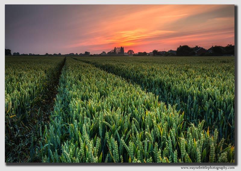 Cornfield-Dawn----W5D34312