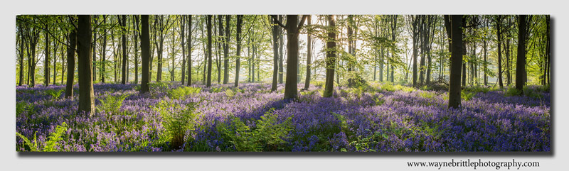 Derbyshire-Bluebell-Pano