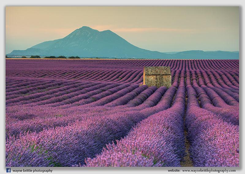 Early Morning Light Across Lavender Fields - 5DSR4837