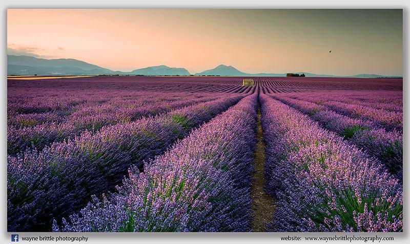 Lines of Lavender - 3DSR43543