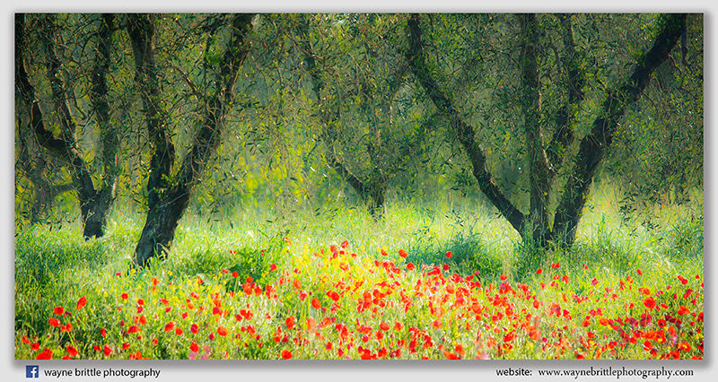 Olive Trees & Poppy Fields 2 - 5DSR4506