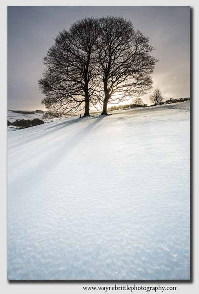 Winter Trees in the snow - 8047