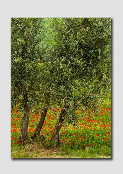 Poppies and Olive Trees - TS0484