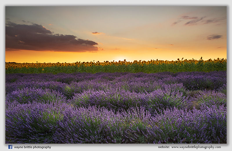 Sunflower Fields & Lavender Sunset - W5D43603