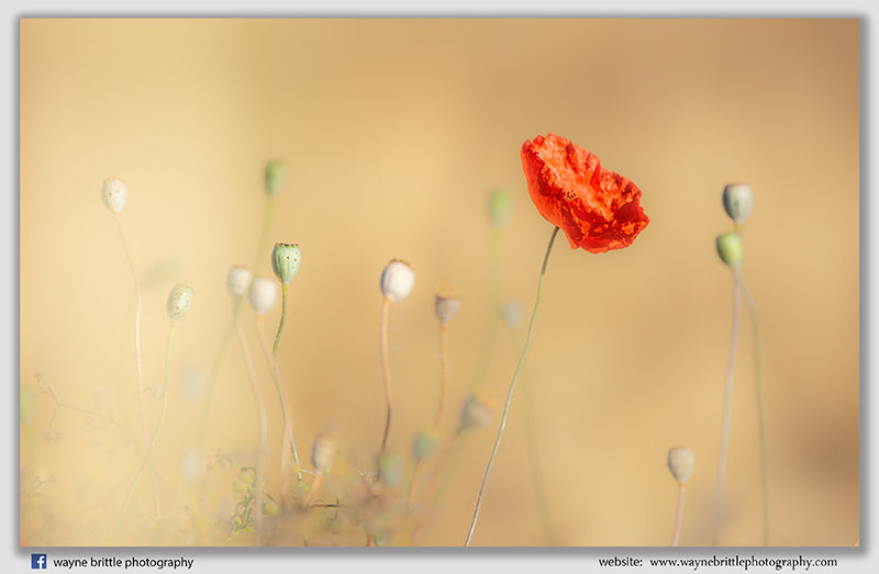 Provence Poppies - 5DSR4869