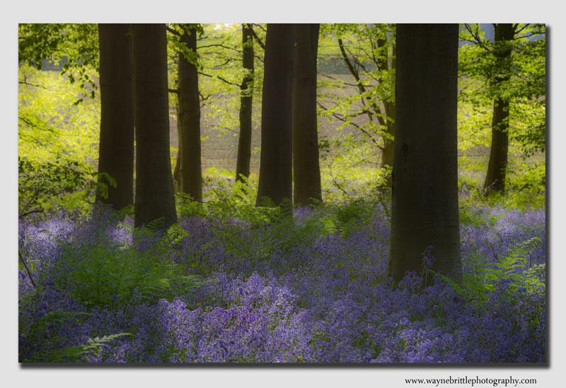 Spring-Bluebells---soft-fx------W5D32500