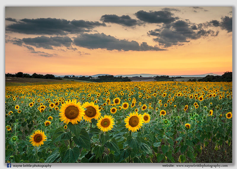 Sunflower Dusk - W5D43528