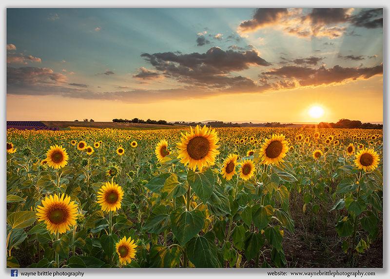 Sunflower Sunset -W5D43495