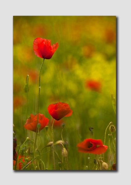 Tuscany Poppies-TU0675