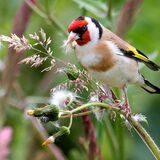 Feeding Goldfinch