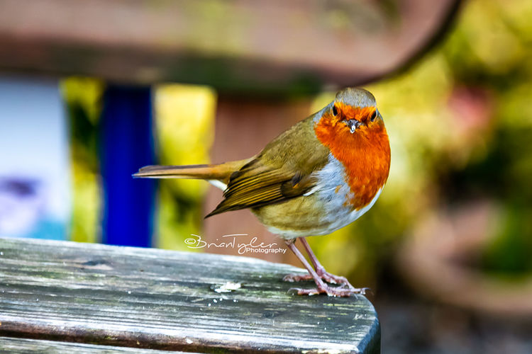 Little Robin on a Cafe Bench