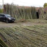 Burnham Willow Fresh Willow in our Yard