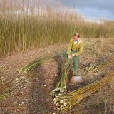 Andy Bloomfield bundling in the Burnham Willow Beds