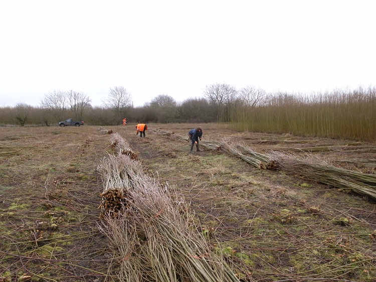 Burnham Willow Cutting and Stacking