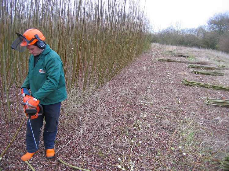 Andy cutting Willow