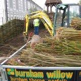 Burnham Willow at the RHS Chelsea Flower Show