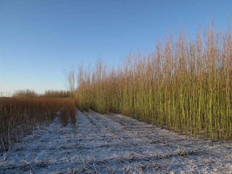 Winter in the Burnham Willow Beds