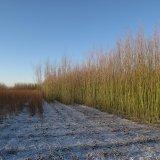 Winter in the Burnham Willow Beds