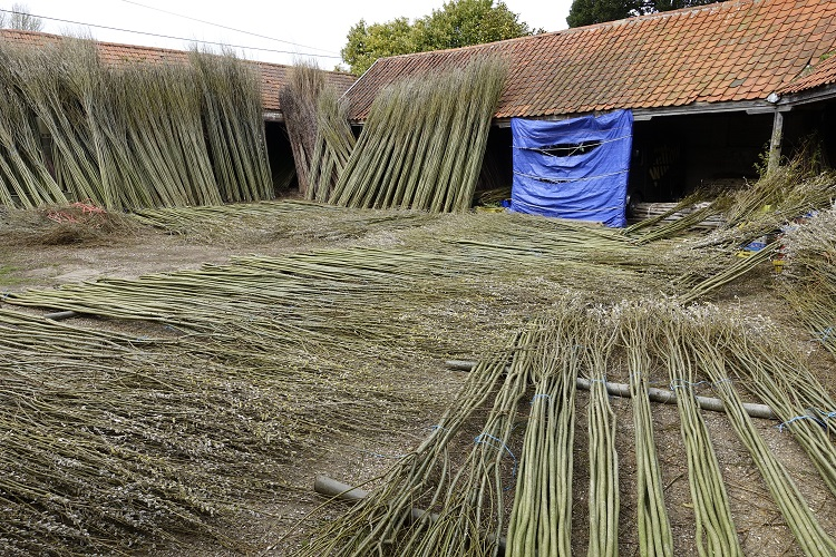 Burnham Willows being processed in our yard
