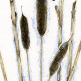 Kingfisher in Bullrushes