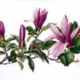 Magnolia Lilifolia Nigra