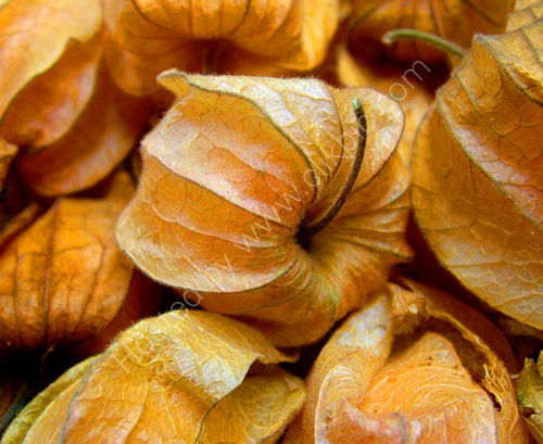 Physalis Peruviana : Cape Gooseberry