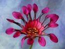 Osteospernum : Lavender Bliss