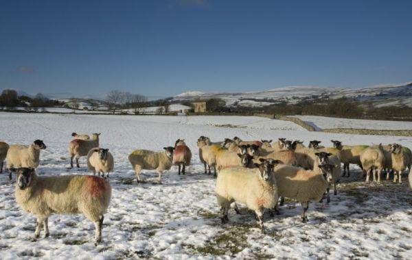 Sheep & Barn