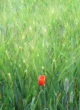 Lone Poppy  -  Luberon, France