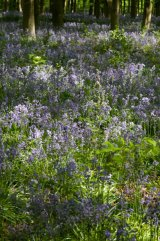 Bluebells in dappled sunlight - West Wood, Pickrudge, Wiltshire