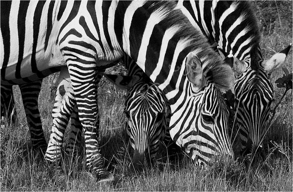 Three Zebras