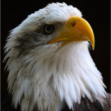 An ever watchful Bald Eagle