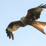 Red Kite right overhead