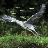 Gray Heron lifting off