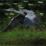 Grey Heron taking off