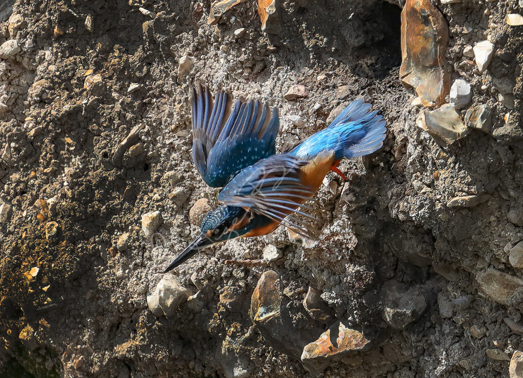 Kingfisher leaving nest