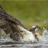 Osprey lifting off with catch