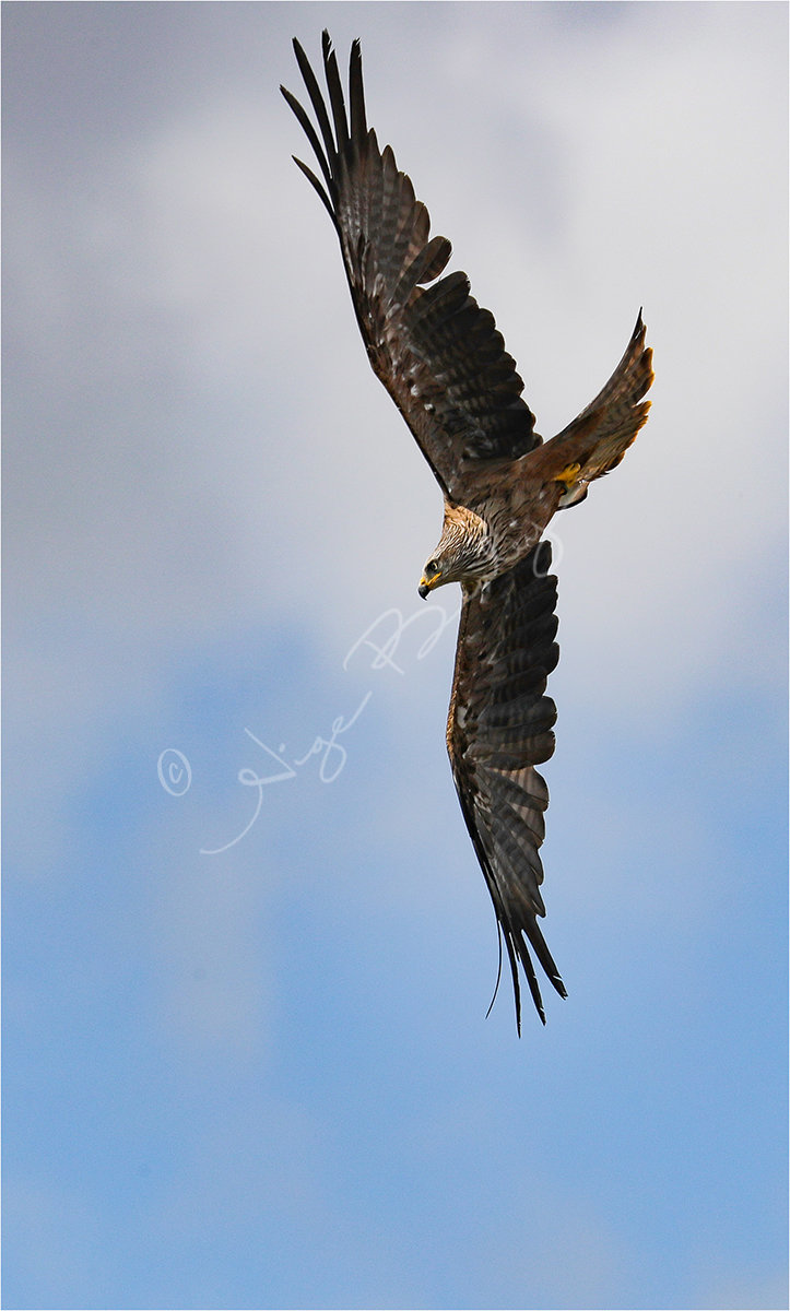 European Black kite diving