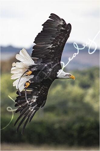 Bald Eagle in flight 2