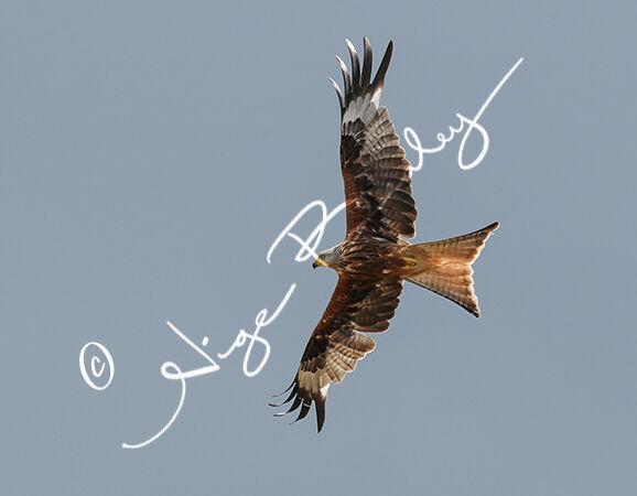 Red Kite overhead