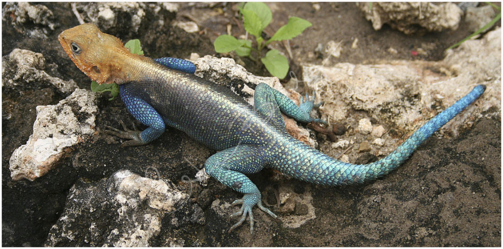 Aguma Lizard